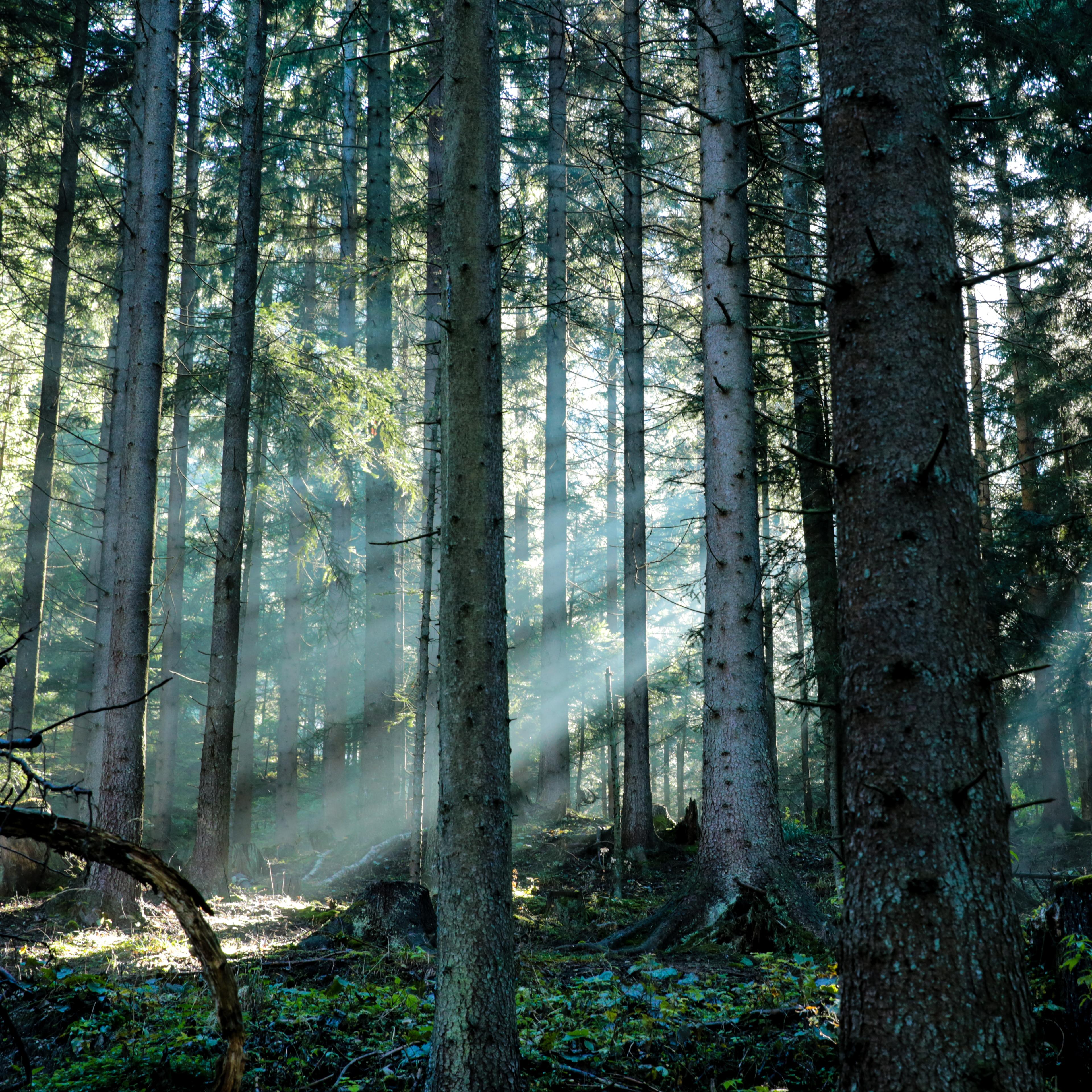 Wald mit Nebel und Sonnenstrahlen, die den Nebel brechen