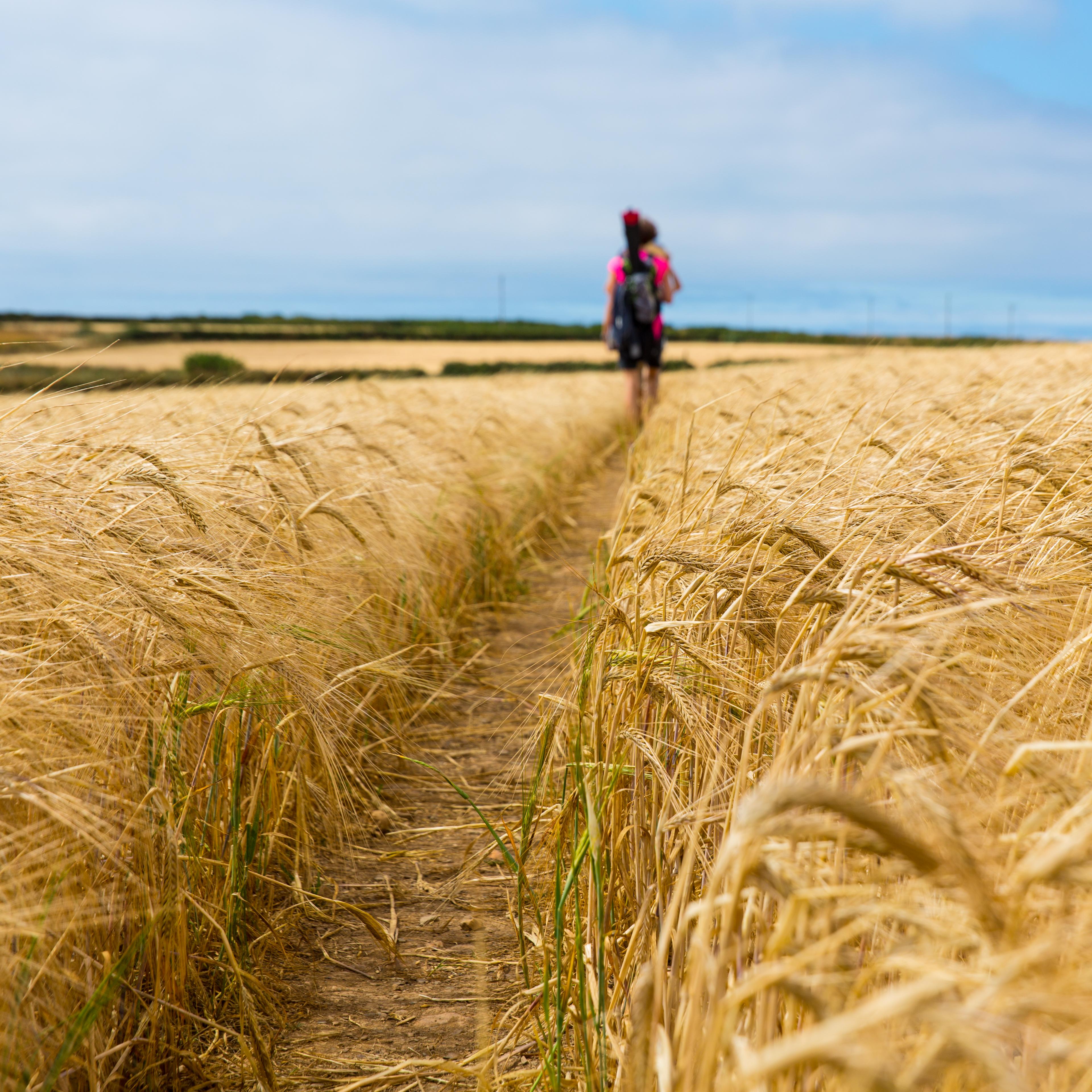 Weizenfeld mit Weg und Menschen im Hintergrund