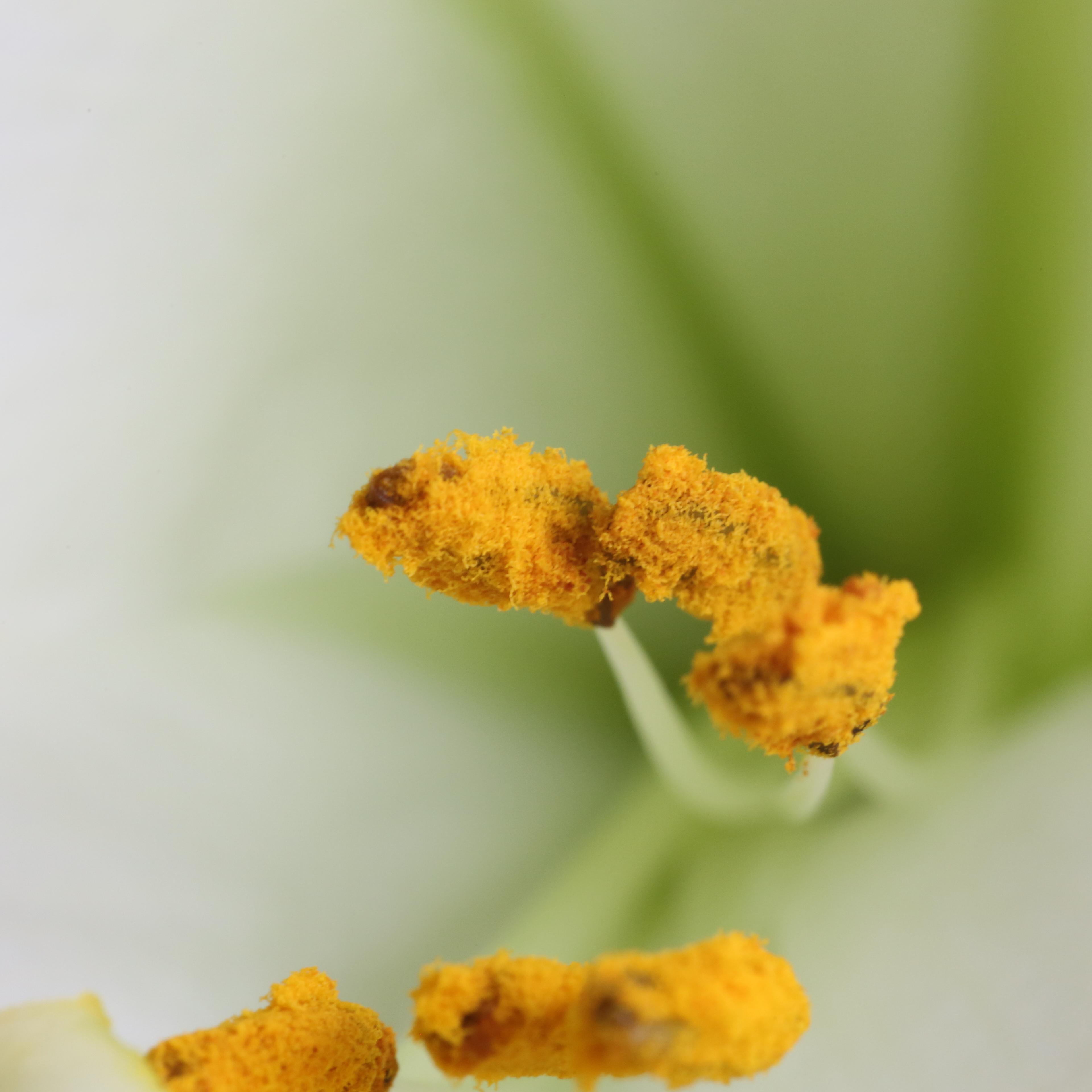 Nahaufnahme des Blütenstempels einer Lilie