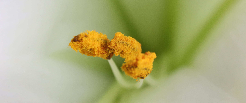 Makroaufnahme eines Blütenstempels einer Lilie
